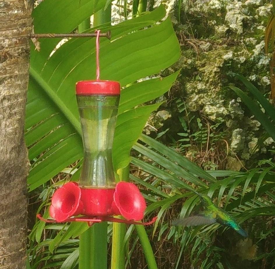 Photo d'un colibri qui s'approche de l'abreuvoir